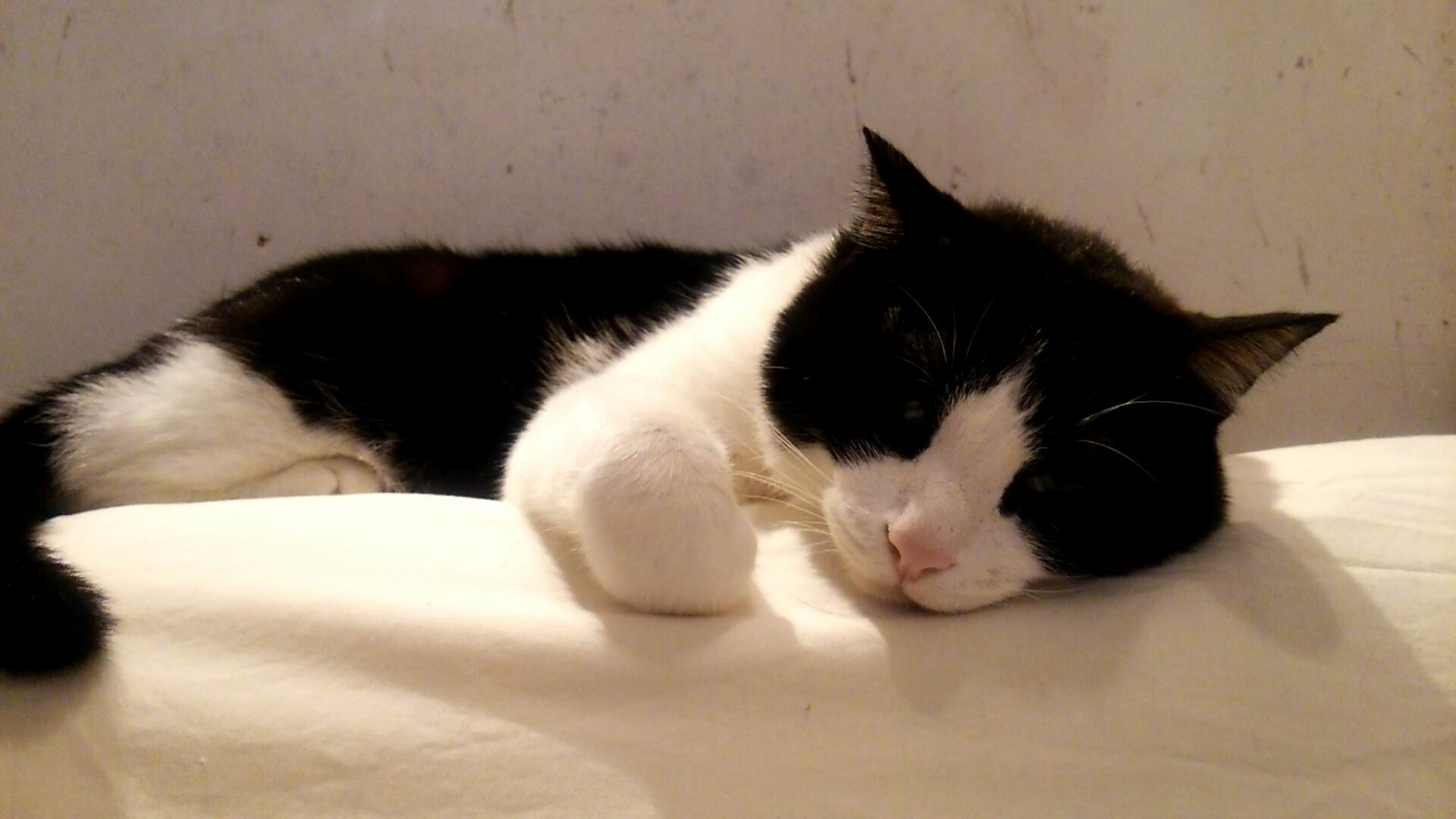 ペット かわいい猫